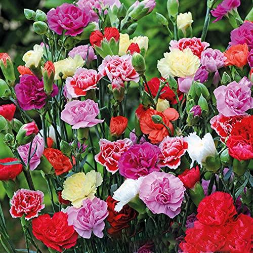 Liziya Raras Semillas de Hierba,Semillas de Flor de Clavel de Cuatro estaciones-100g,Semillas Ornamentales de Hierba