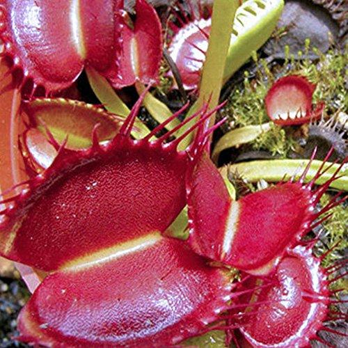 TOPmountain 50 Unids Venus Flytrap Semillas,Cordyceps/Semillas de Plantas Insectívoras para Plantar una Granja de Jardín,Fácil de Cultivar