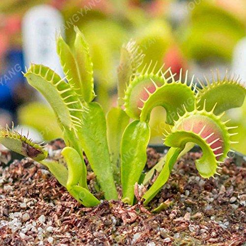 Las plantas 50 Semillas / Semillas de la planta insectívora Paquete maceta Dionaea raras semillas en tierra de Venus atrapamoscas Bonsai Bonsai milagro verde