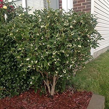 Brighter Blooms Fragrant Tea Olive Shrub - 2 Plants in 3 Gallon Pots