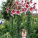 1x Lilien Zwiebel Blumenzwiebeln mehrjährig Bume gartenpflanze Rosa Weiß Baumlilie Friso
