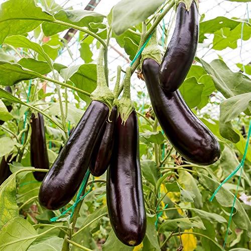 Samen für ca. 20 Pflanzen Early Long Purple 3 Aubergine – 20cm lange und violette Früchte
