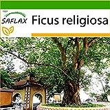 SAFLAX - Fico sacro - 100 semi - Con substrato - Ficus religiosa