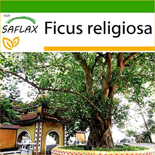 SAFLAX - Buddha-Feige/Bodhi-Baum - 100 Samen - Mit keimfreiem Anzuchtsubstrat - Ficus religiosa