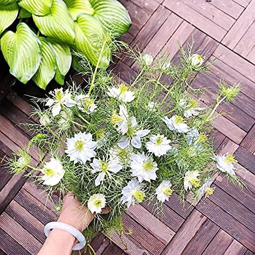 NAttnJf Samen zum Pflanzen,500 Stück Nigella Damascena Samen Natürliche Seltene Mischfarbe Zierfenchel Blumensamen für den Garten