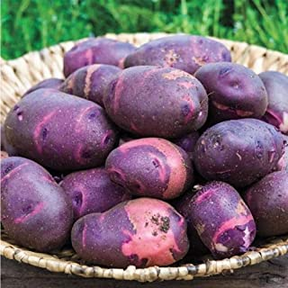 Jlong 100 Pcs Purple Sweet Potato Seeds Specialty Organic Delicious Nutrition Hardy Vegetable Fruit Home Garden Bonsai Plant