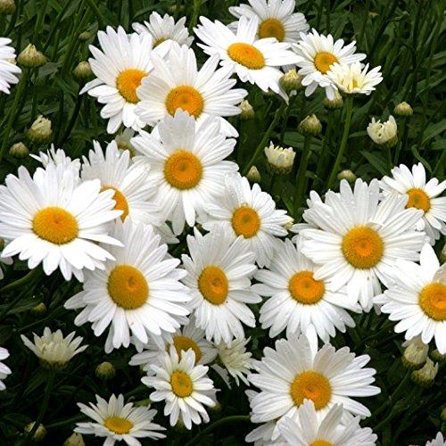 Beautiful Daisy in the garden