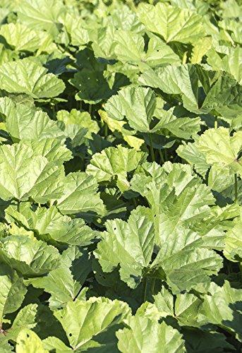 Seedeo Gemüsemalve Chinesische (Malva verticillata) 200 Samen