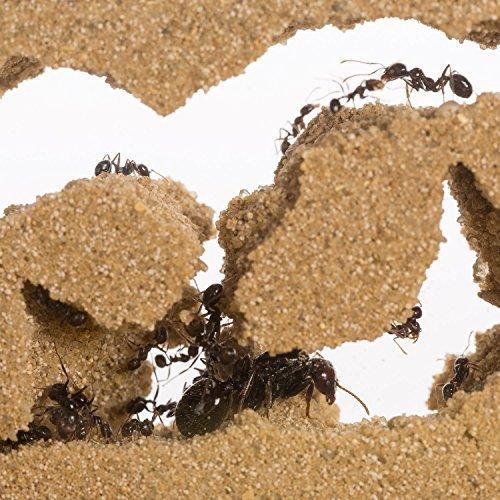 Ameisenfarm Starterkit (Ameisen mit Königin FREE) - 7