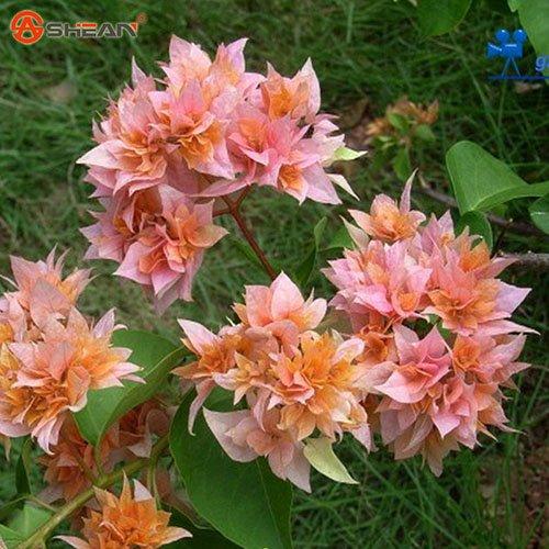 Graines Nouveau réel Blooming Plantes bleues rares Bougainvillea spectabilis Willd Bonsai plantes 100 particules / lot