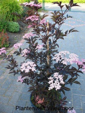 schwarzlaubiger Holunder Sambucus nigra Black Lace 60-80 cm hoch im 5 Liter Pflanzcontainer