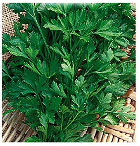 4500 Aprox. - Graines de persil commun 2 - Petroselinum Crispum en emballage d'origine produit en Italie - Persil commun