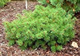 Little Brolly Dwarf Scotch Pine 2 - Year Graft