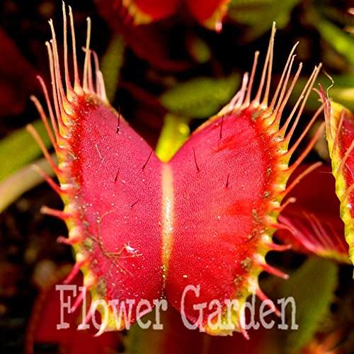1000 pcs pour Venus Fly Piège Flytrap Dionaea Muscipula Fleur carnivore Graines de Dionaea Muscipula géant Clip Flytrap, # F1etci