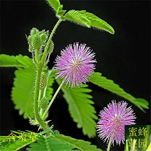 Mimosa Sensible Semence Mimosa Seed Fear Scarabées Graminées sont sur 100seeds
