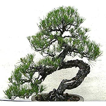 Amazon Com Big Pack Bonsai Tree Seeds Japanese Black Pine Tree 150 Seeds Pinus Thunbergiana Pine Tree Seeds Non Gmo Seeds By Myseeds Co Big Pack Japanese Black Pine Garden Outdoor