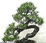 Big Pack Bonsai Tree Seeds - Japanese Black Pine Tree (150 Seeds), Pinus...