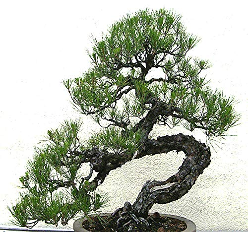 Big Pack Bonsai Tree Seeds - Japanese Black Pine Tree (150 Seeds), Pinus thunbergiana Pine Tree Seeds - Non-GMO Seeds by MySeeds.Co (Big Pack - Japanese Black Pine)