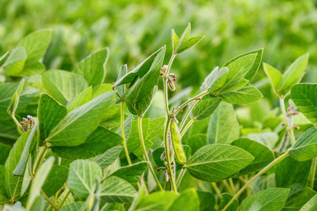 Laredo Soybean - 200 Free Shipping New SẸẸDS Tucson Mall Or Great Forage Wildlife Co
