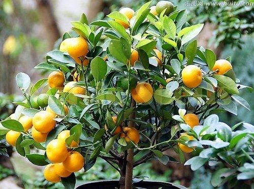 1bag = 50pcs kumquat anaranjado siembra en macetas Balcón Patio Lotes árboles frutales Semillas sabrosos Naranja jugosa para casa y jardín