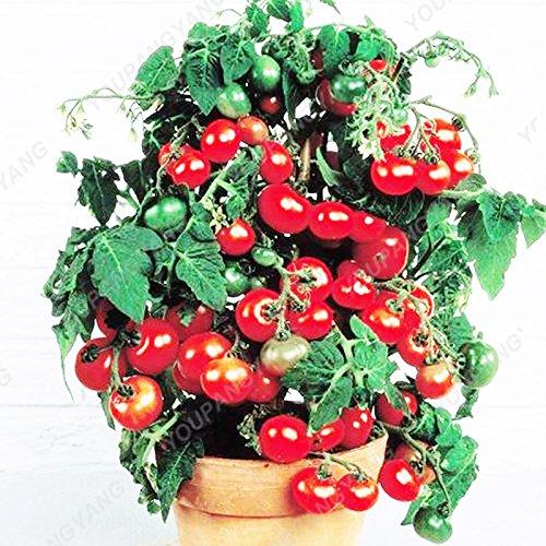 100 Graines de légumes de haute qualité des semences de tomate Arbre Semences de tomates de serre de tomates arbustives Escalade Balcon multicolore Potted
