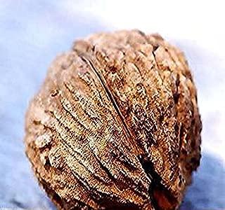 Black Walnut Tree Seeds, Juglans nigra - Northern - Hardy to Zone 5 - by MySeeds.Co (5 Seeds)