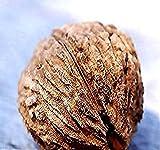 Black Walnut Tree Seeds, Juglans nigra - Northern - Hardy to Zone 5 -...