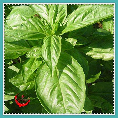 1 paquet de 200 grandes feuilles de basilic Seeds Herb Seeds, 90% + Germination