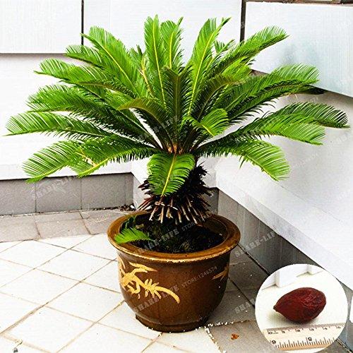 Cycas Arbre 100% Vrai Seed Revoluta Graines Cycas Potted jardin Paysage populaire Graine de plantes faciles à cultiver 1 Pcs / Sac