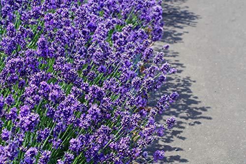 Lavendel 'Hidcote Blue' 30 Samen
