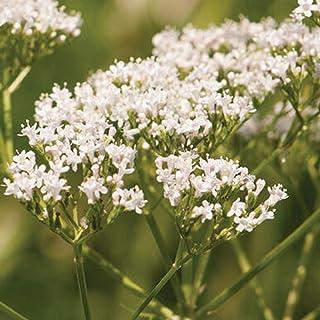 David's Garden Seeds Herb Valerian 9899 (White) 200 Non-GMO, Heirloom Seeds