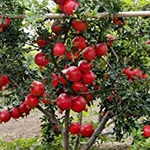 Rain Forest High Yielding Hybrid Dwarf Pomegranate Fruit Plant Punica Granatum Live Plant