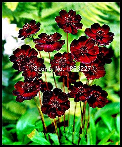 Multicolore: 100 semi di fiori di cosmo al cioccolato - Fiorisce per tutta l'estate e ha un profumo intenso come il cioccolato per il giardino di casa