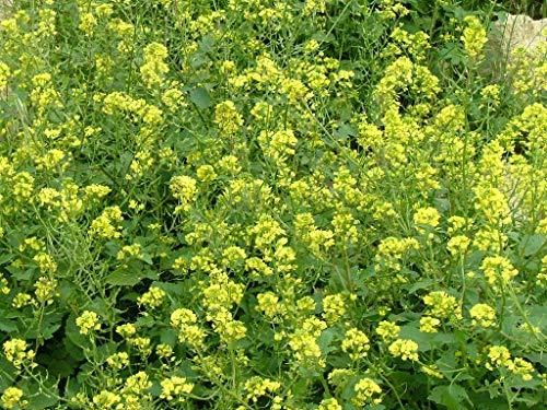 75 grammes d'ENGRAIS VERT - SINAPIS ALBA - Agriculture Potager Bio
