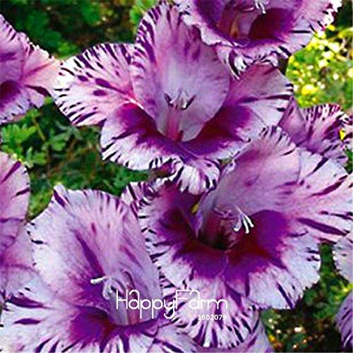 Vente chaude! Rare Seeds Striped glaïeul Jardin Et Terrasse Jardin Fleurs plantes Graines Orchid Gladiolus gandavensis 100 PCS, # TRFAVS