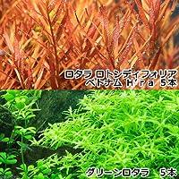 (水草)グリーンロタラ(5)+ロタラ ロトンディフォリア ベトナム H'ra(5) 北海道航空便要保温