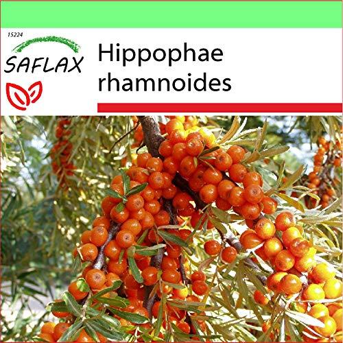 SAFLAX - Garden to Go - Heilpflanzen - Sanddorn - 40 Samen - Mit Tontopf, Untersetzer, Anzuchtsubstrat und Dünger - Hippophae rhamnoides