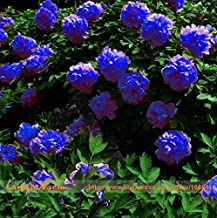 Rare Chinese Dark Blue Peony Flower Plant Seedling Seeds, 5Seeds/Pack, Strong Fragrant Beautiful Bush Flower for Balcony Garden