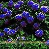 Rare bleu foncé fleur de pivoine plante chinoise Graines Seedling, 5Seeds/Pack, forte Fragrant Belle Fleur Bush pour Balcon Jardin #1