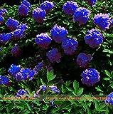 Rare bleu foncé fleur de pivoine plante chinoise Graines Seedling,...