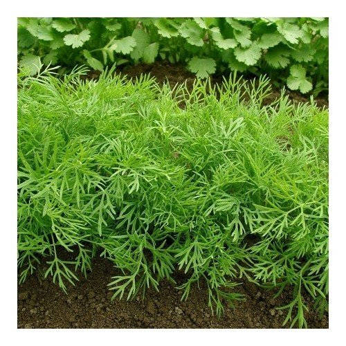 Aneth officinale 400 graines