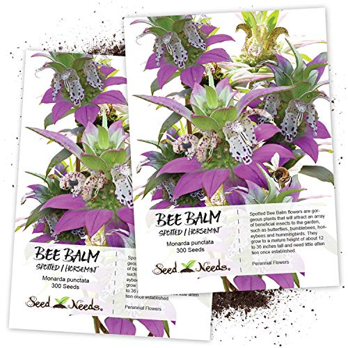 """Seed Needs, Spotted Bee Balm""""Horsemint"""" (Monarda punctata) Twin Pack of 300 Seeds Each"""