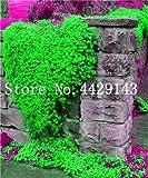 Generic Fresh 100 pcs semillas de flores ROCK CRESS para plantar verde