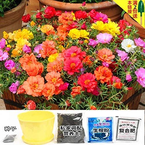 B/H Fleurs Graines ornementales pour Balcon,Graines de Parfum rares,Graine de Fleur Cosmos Morning Glory Sun Flower-F_500g + Cadeau
