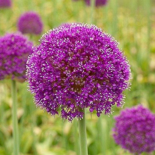 Allium giganteum - 5 Blumenzwiebeln