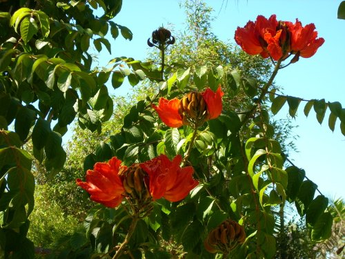 15 RED AFRICAN TULIP TREE (Fire Tree / Flame of the Forest / Fountain Tree) Spathodea Companulata Seeds