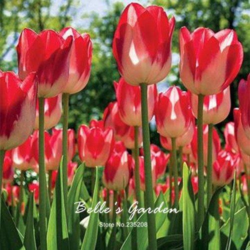 5pcs Rare Tulip Jaune Rouge Bulbes Bonsai fleur de tulipe Tulipa « Caméléon » jardin Plantes vivaces en pot Bulbes