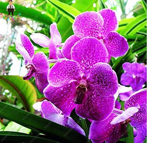 100pcs 20 types d'orchidées Graines vivaces Fleurs Plantes ornementales en pot Bansai Semences pour balcon et cour plante Diy jardin Bourgogne