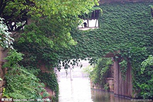 HOT graines VENTE fleurs les graines de Parthenocissus Ivy Parthenocissus de plantes vertes fleur intérieure planteurs de pot 100 / sac