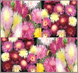 200 x Sweet Sultan - Amberboa moschata Imperialis Mix - Sweet Sultan Flower Seeds SWEETLY FRAGRANT - SINGLE TO SEMI-DOUBLE BLOOMS - Zone 7-10 - By MySeeds.Co